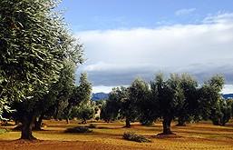 Los olivos de Diezdedos